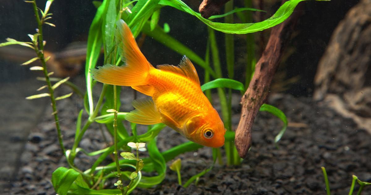 Šala dneva: Zlata ribica