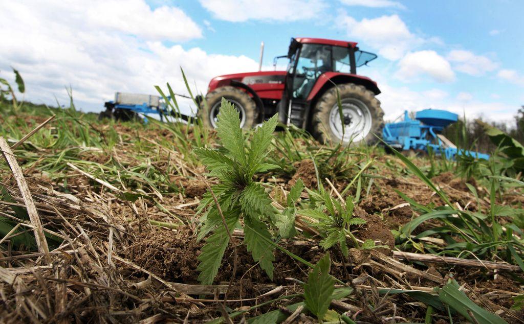 Konoplja – krompir 21. stoletja