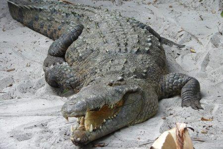 Šala dneva: Blondinka in aligator