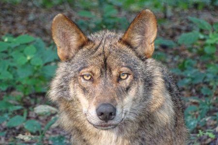 V Nemčiji bodo kmetje smeli sami odstreliti volkove