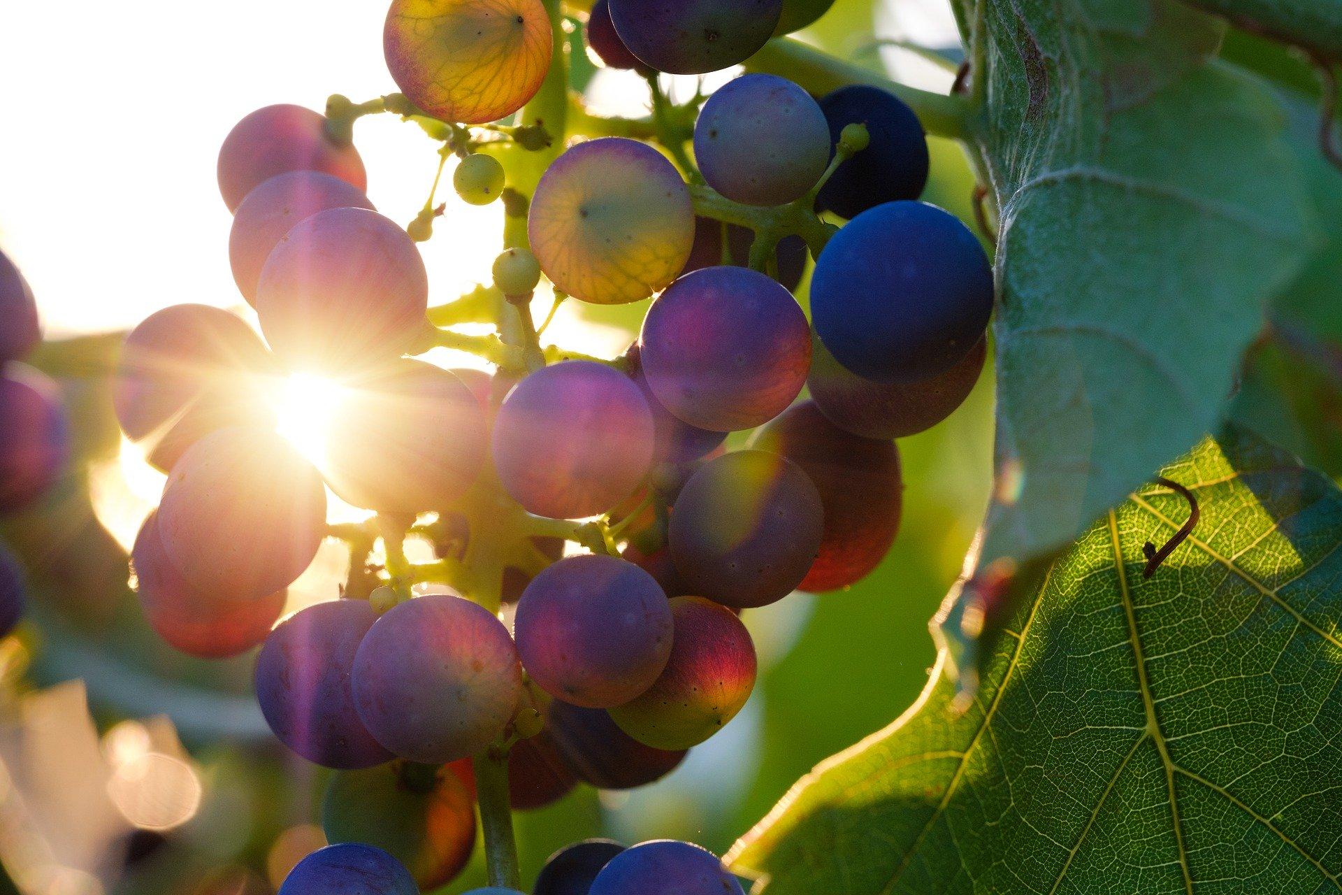 Na mladih slovensko vinogradništvo »stoji«