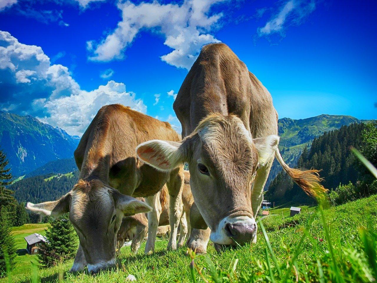 [RAZISKUJEMO]: Veganom je živinoreja trn v peti