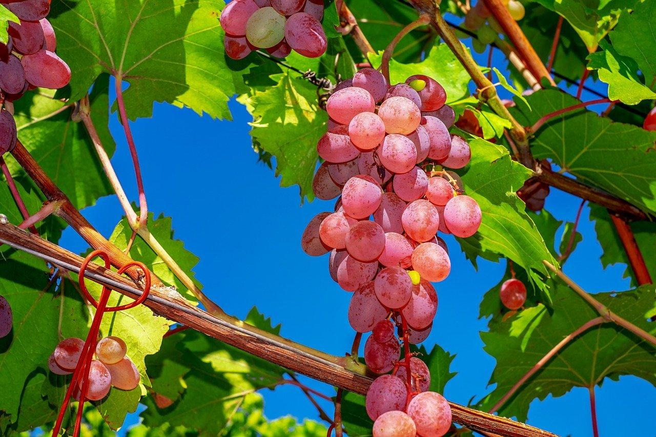 Cviček je nedvomno edinstveno in najbolj poznano slovensko vino