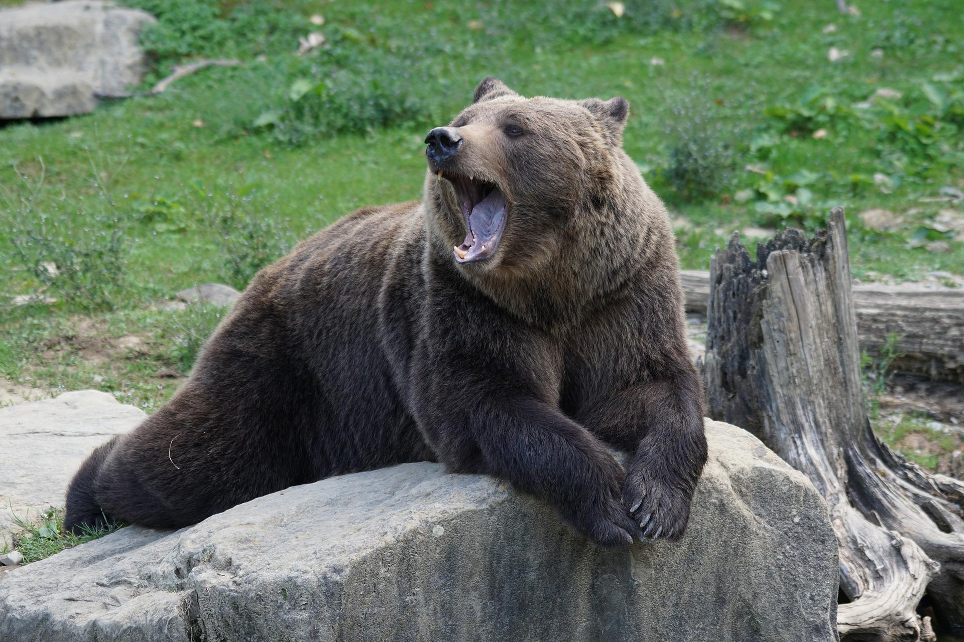 Bo tokrat lovcem le uspelo z odstrelom odvzeti iz narave 115 medvedov?