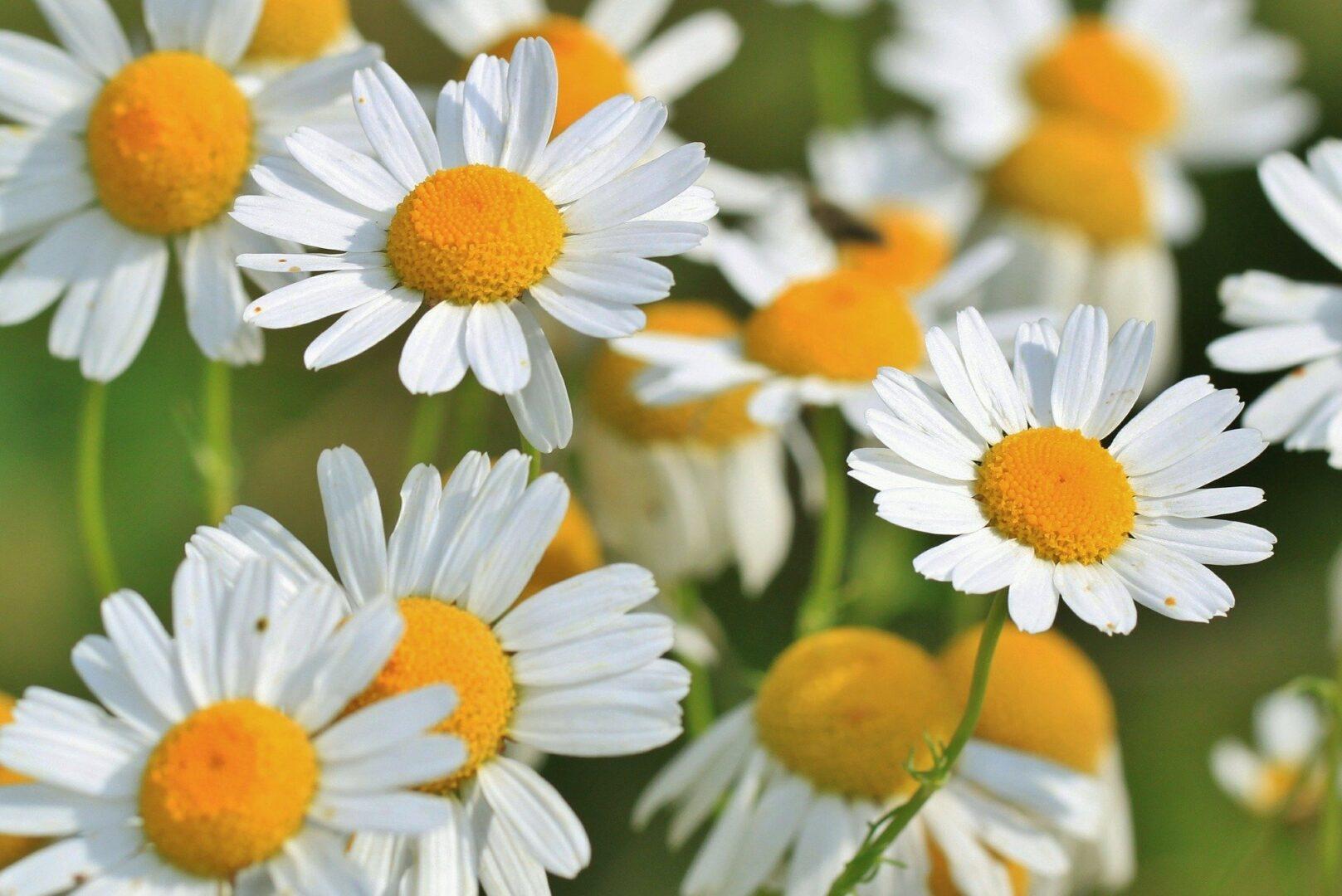 Kamilici so darovi narave, ki jih marsikdo pozna in se spomni, kako je bila primerna za vse.