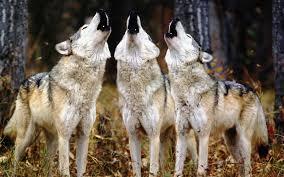Ako živiš med volkovi, zavijal boš tudi ti po volčje.