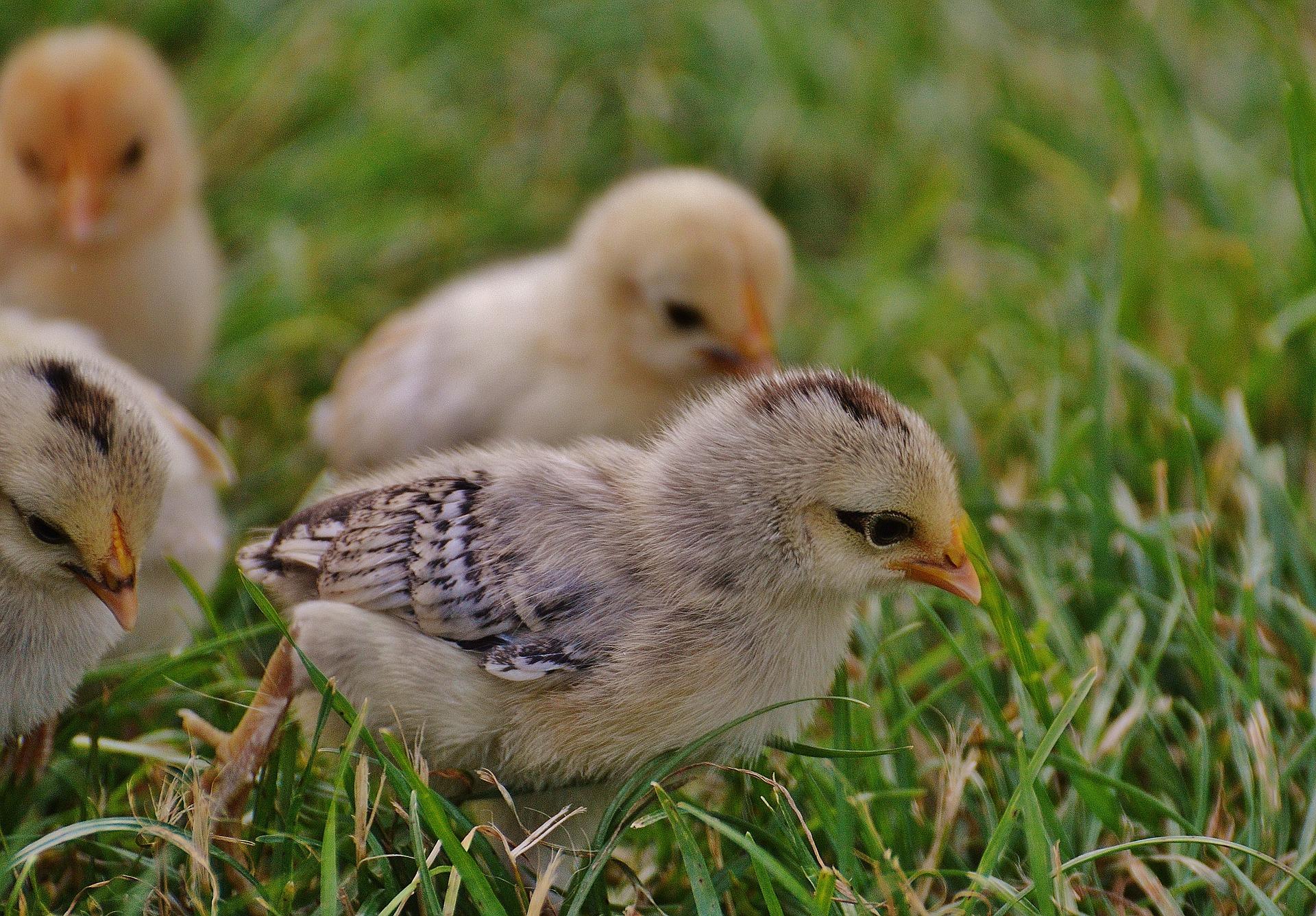 Zgodba za lepši dan: Orlovo jajce med kokošjimi