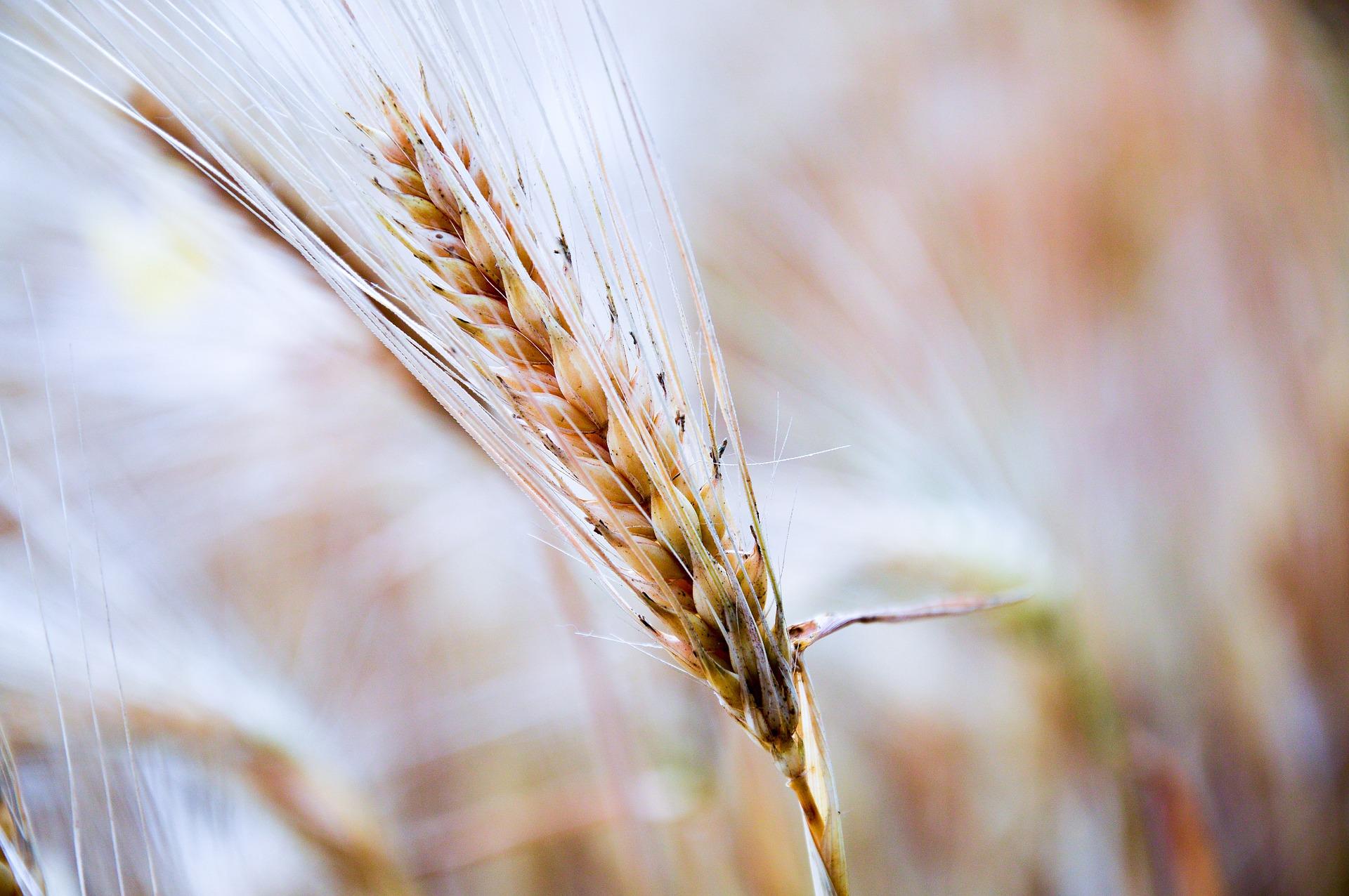 Zgodba za lepši dan: Žito skrbi
