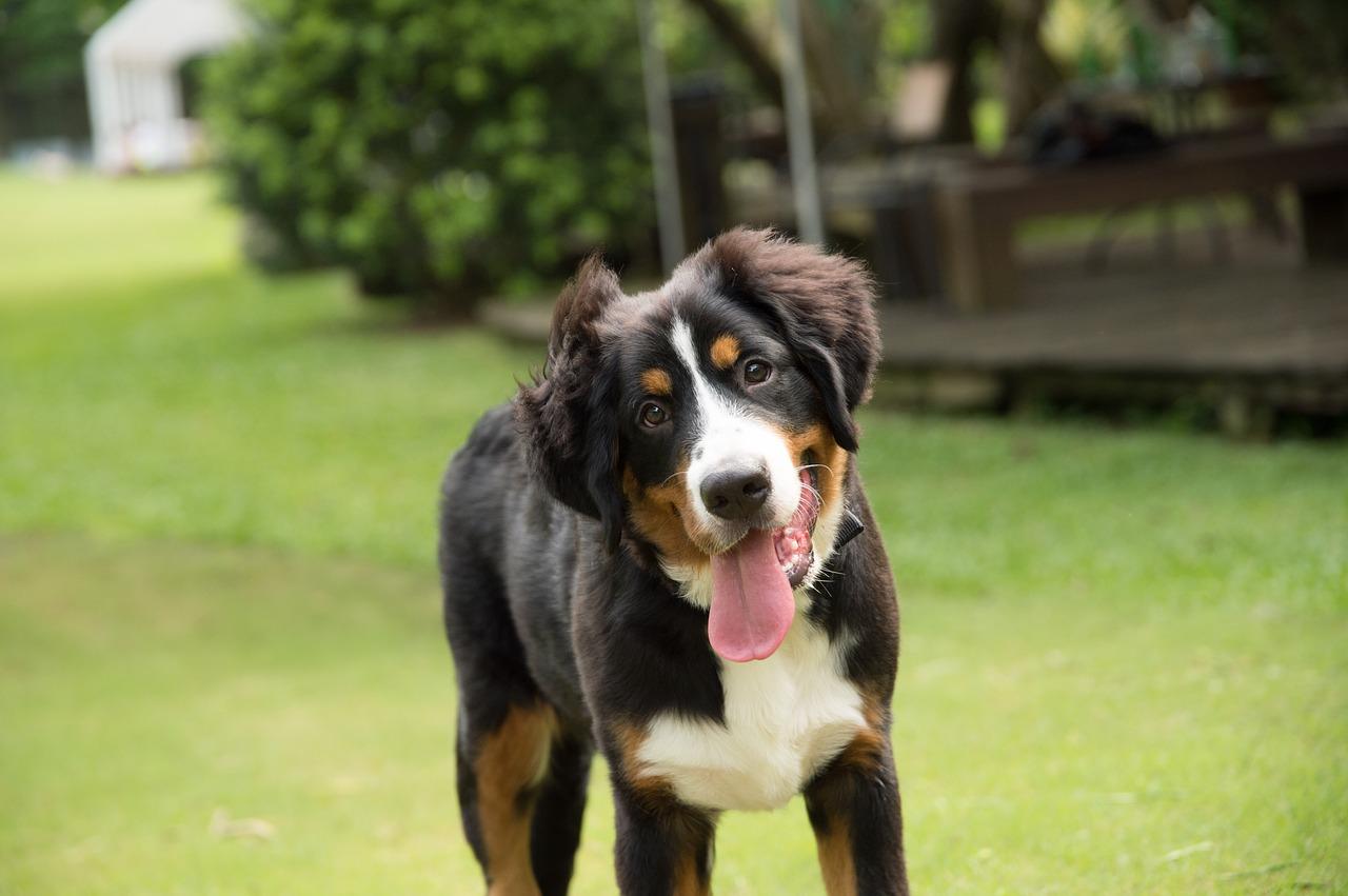 Bernski planšarski pes potrebuje redno vadbo.