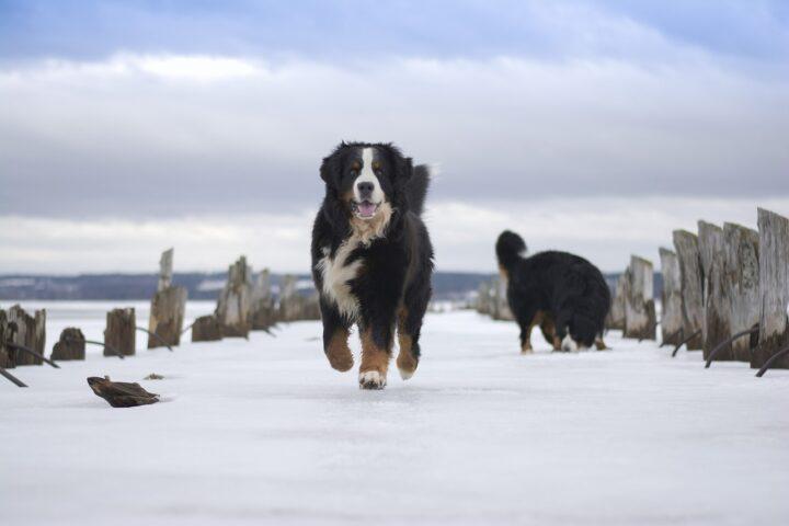 Kdaj bernski planšarski pes ni prava izbira za vas?