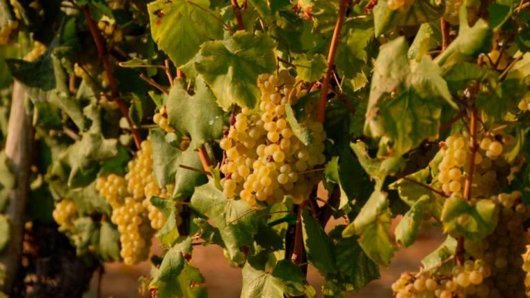 Slovensko vino je trn v peti sosedom že vrsto let.