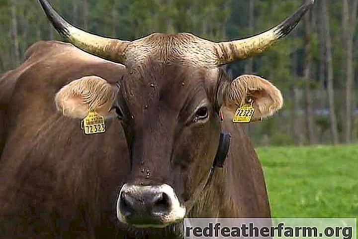 Maja Klemen Cokan: Krava z rogovi je duša kmetije
