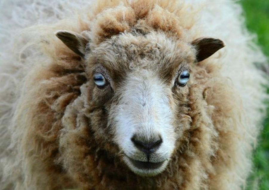 Ena garjava ovca vse druge okuži.