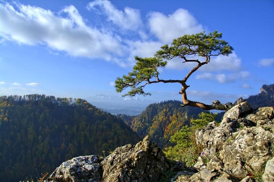 Drevo, ki lepo izgled in ima krhke korenine, bo ob prvem resnem vetriču zagotovo padlo na tla.