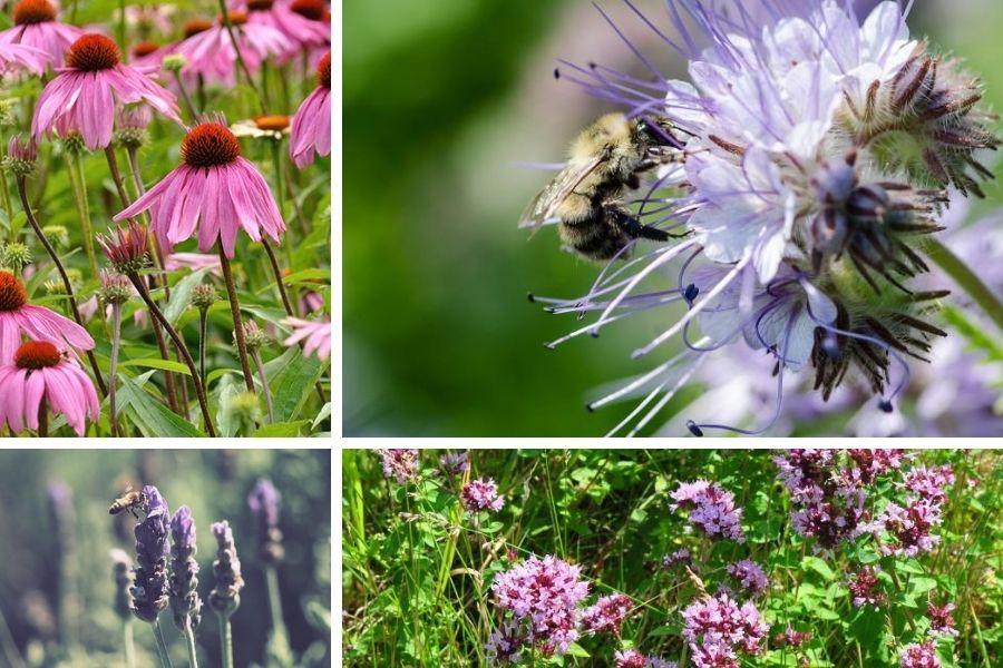 Opraševalci so na vrtu naši zavezniki, zato je pomembno, da v planiranje vrta vključimo tudi medovite rastline. Medovite rastline lahko sejemo in sadimo praktično kjerkoli na vrtu. Na sliki: ameriški slamnik, facelija, sivka in origano v cvetju.