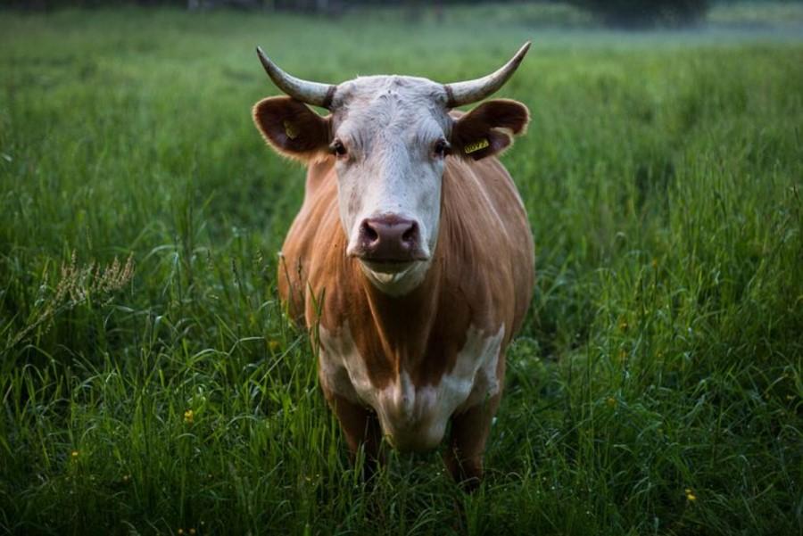 Vsaka krava je rada tam, kjer je trava.