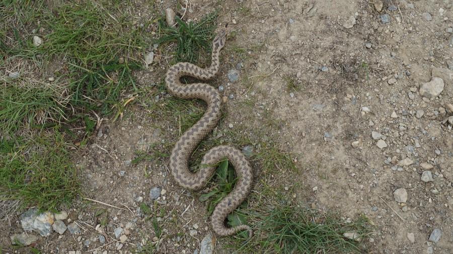 Smrtnih primerov zaradi kačjega ugriza že dolgo ni bilo, tako da lahko rečemo, da naše kače niso ravno smrtno nevarne.
