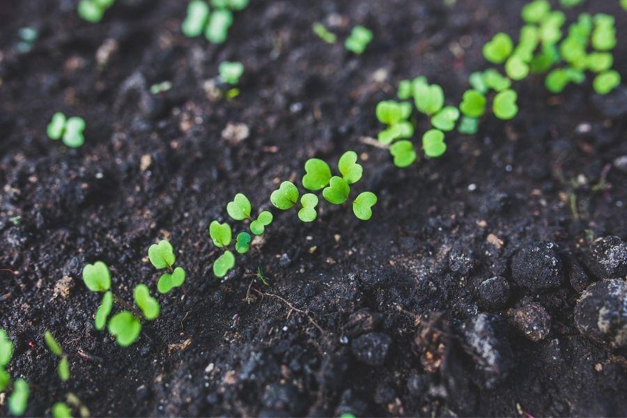 Solato, peteršilj, rukolo, motovilec in druge rastline, pri katerih uživamo listnati del, sejemo in obdelujemo na dan, ki je določen za listnate rastline. Vir slike: Pixabay.