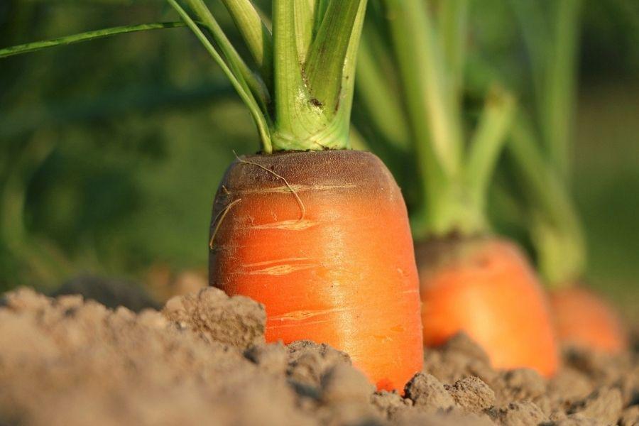 Korenček, repo, krompir in druge rastline, pri katerih uživamo del rastline, ki je pod zemljo, sejemo in obdelujemo na dan, ki je določen za korenovke. Vir slike: Pixabay.