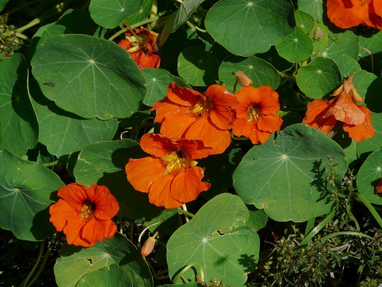 Aprila še vedno lahko posejete kapucinke. Kapucinka je poleg tega, da je s svojimi čudovitimi rumenimi in oranžnimi cvetovi lep okras vrta, tudi užitna. Odlično pa delujejo tudi proti nekaterim škodljivcem v tleh (polži, ogorčice, strune ...). In poleg vsega tega tudi privabljajo uši, tako da te ne napadejo sosedov. Vir slike: Pixabay.