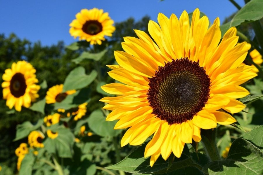 Cvetlice in oljnice sejemo, sadimo in obdelujemo na dan za cvetnice. Vir slike: Pixabay.