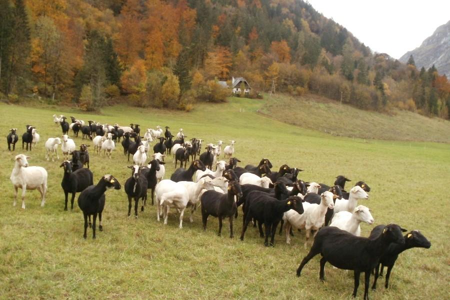 Ovčerejska kmetija Jelinčič s turistično dejavnostjo