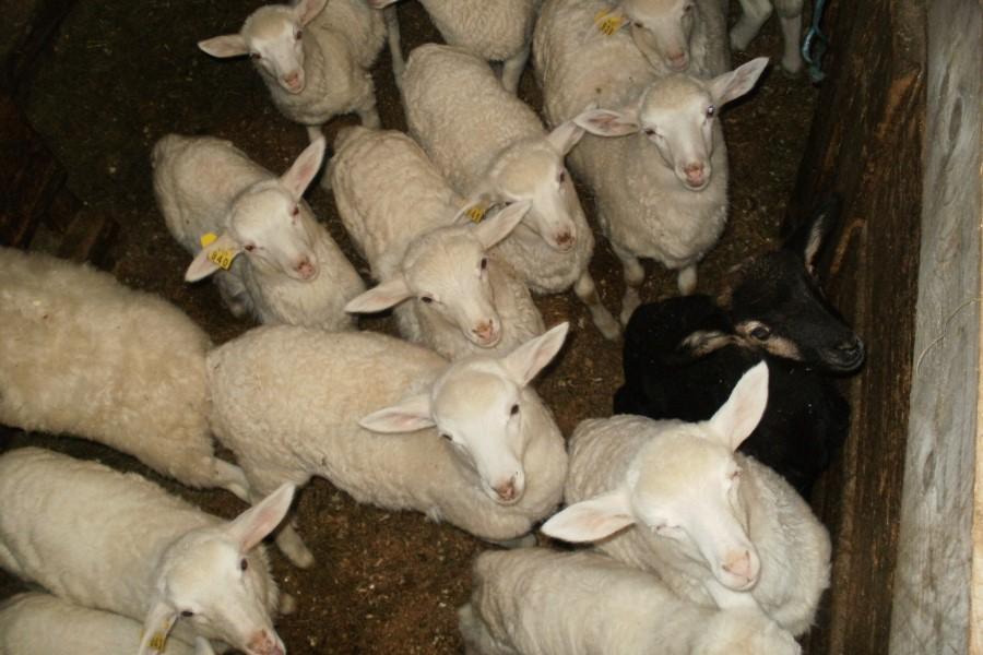 Jagnjeta bovške ovce - trentarke.