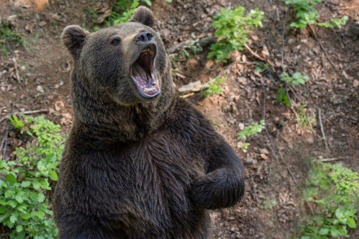 Bodo medvedi svoje domovanje razširili še na savinjsko regijo?