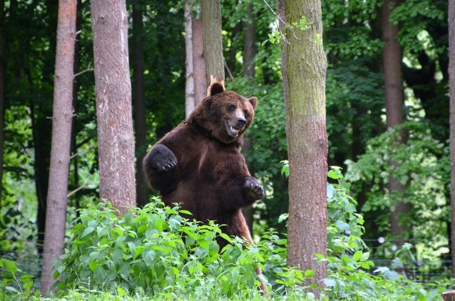 Zgolj lani so po podatkih Zavoda za gozdove Slovenije v Sloveniji zabeležili 17 (predlani 12) napadov medvedov na drobnico.