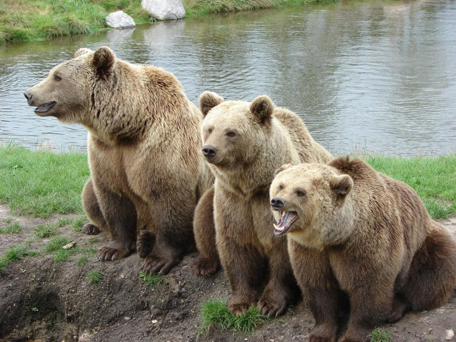 V Sloveniji imamo največ medvedov na km2, zgolj na Kočevskem, ki obsegajo 2,17 km2 živi preko 400 medvedov.