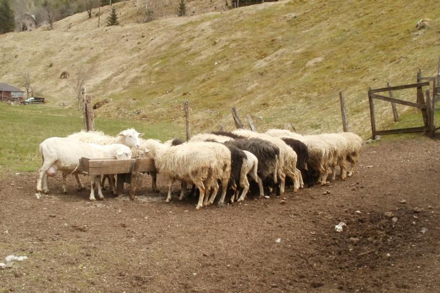 Trentarke so manjše bovške ovce predvsem zaradi okoljskih dejavnikov.