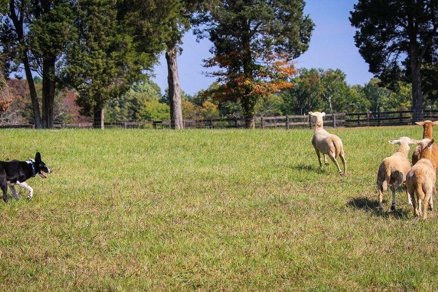 Za nevarne pse se ne štejejo pastirski  psi, katerih ugriz  se  zgodi  v času, ko opravljajo svojo nalogo. Vir slike: Pixabay.