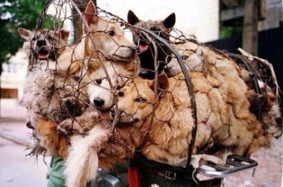 Ustanovitelji festivala spodbujajo prepričanje, da uživanje pasjega mesa prinaša srečo – a »sreča«, ki jo s tem pridobi nekaj udeležencev festivala, za tisoče živali, med njimi tudi mačkami, pomeni dolgotrajno fizično in čustveno trpljenje.