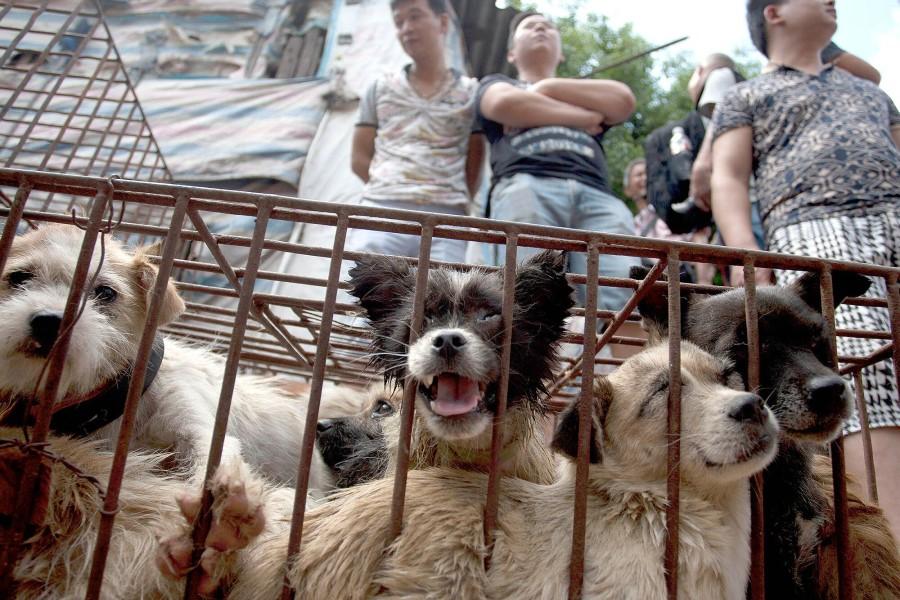 Kitajski festival Yulin: Do katere meje lahko »tradicija« opravičuje okrutnost?