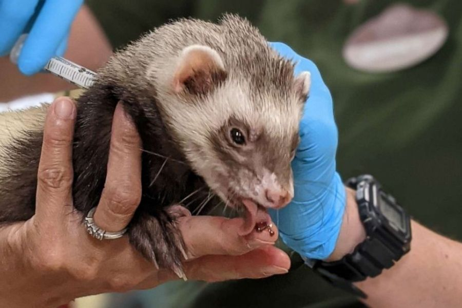 Dihur v živalskem vrtu Oaklandu se sladka med cepljenjem proti Covidu-19, medved pa je za nagrado dobil porcijo stepene sladke smetane. Vir slike: Arhiv živalskega vrta v Oaklandu.