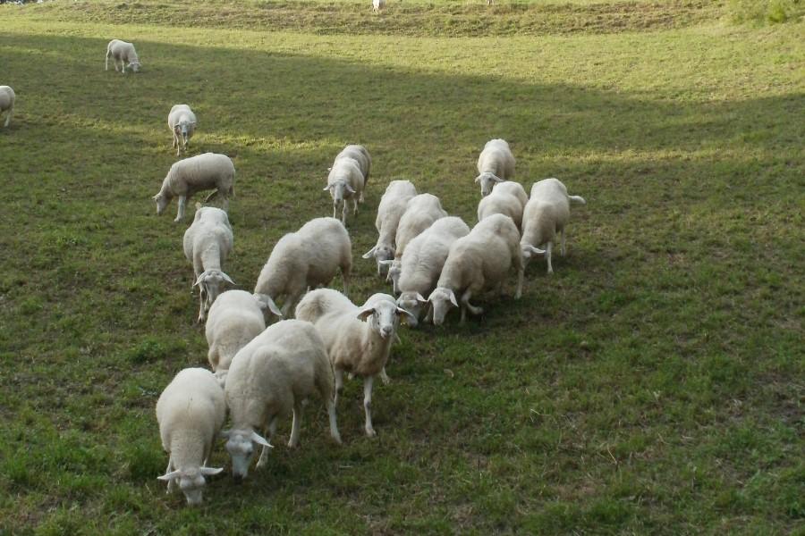 Ovce in jagnjeta Pr' Kafolu so v res dobri kondiciji.